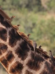 bird and giraffe