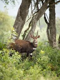 bushbuck langkloof