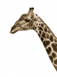 giraffe langkloof