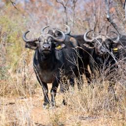 langkloof-buffalo