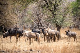 langkloof-kings-wildebeest