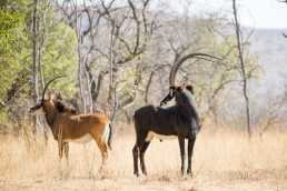 sable bull langkloof