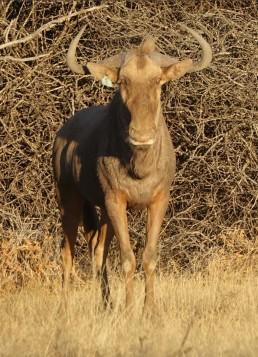 31-golden-wildebeest-napoleon