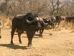 buffalo bull langkloof