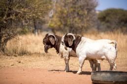 boer goat langkloof