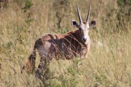golden oryx