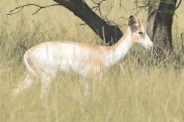 white flanked impala