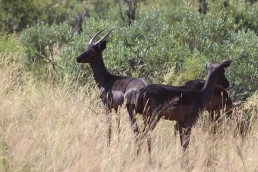 black impala langkloof