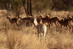 white flanked impala langkloof